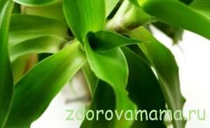 Zolotoy-us-lechebnyie-svoystva